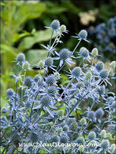 Hardy Perennial - 15 Seeds Blue Cap Sea Holly Eryngium Planum /'Blaukappe