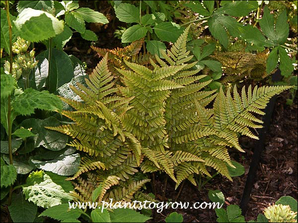 Beautiful frond color