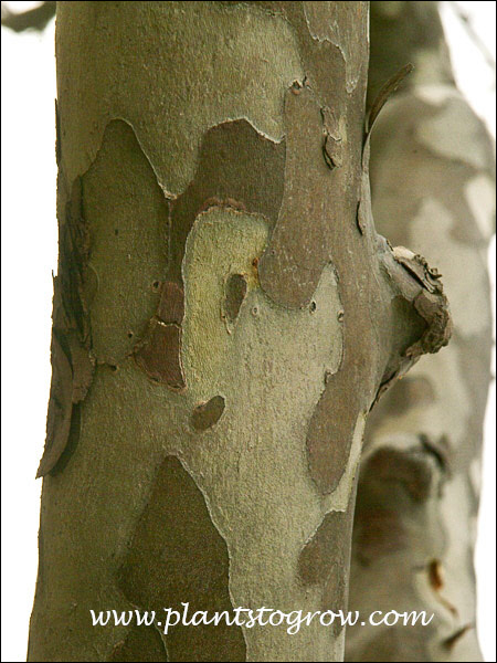 Sycamore (Plantanus occidentalis) Image by Paul S Drobotthe exfoliating outer bark and the lighter colored inner
