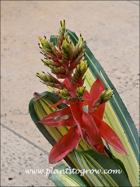 The flower of this Bromeliad