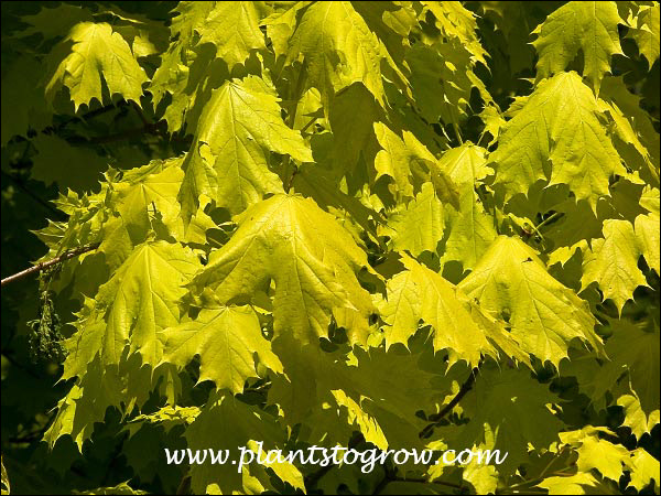 This picture was taken in early May.  At this time the foliage was a bright golden yellow