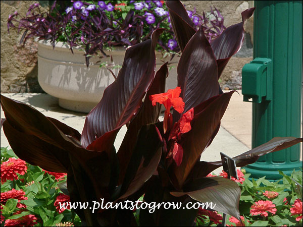 Canna Australia Has very dark burgundy foliage and bright red flowers