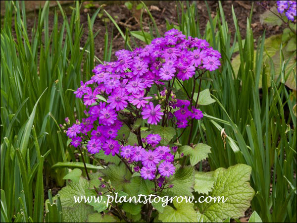 9 10 Annual Else Where Plants To Grow Plants Database By Paul S