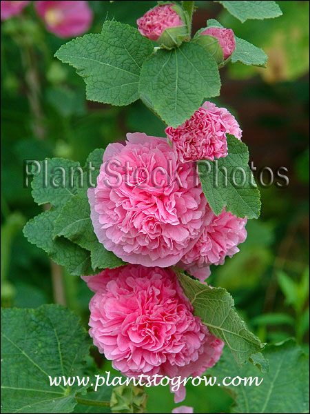 Large soft double pink flower.