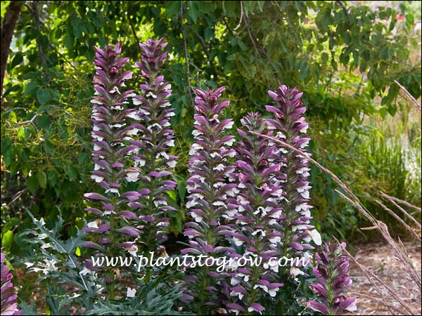 This group of Acanthus was over 4 foot tall.(July 23)