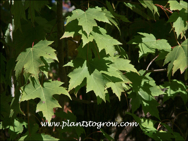 This image illustrates the leaves which have characteristics of both the Silver Maple and Red Maple.