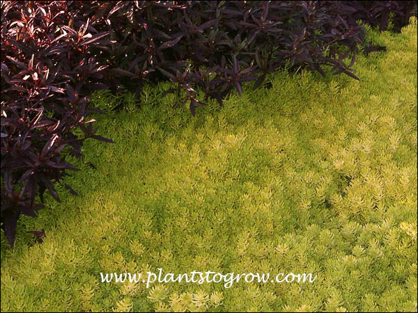 Growing in full sun brings out the bright yellow color of Sedum Lemon Coral and the dark burgundy red of the Aleranthera.