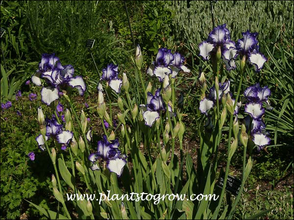 "Iris Creative Stitch Tall Bearded Iris mostly white with plicata edges of violet/blue, 35"",  (Schreiner '84)"