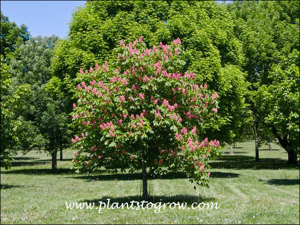 Many sources list this as a light pink, This tree had dark pink color. (May 18)