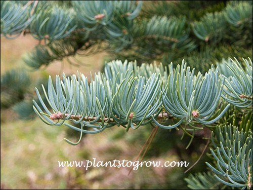 The curing up and inward glaucous needles