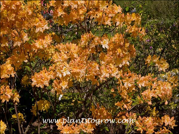 Description, An Extremely Floriferous Member Of The Northern Lights Azaleas  Series
