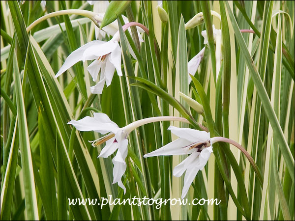 Acidanthera bicolor or common name Abyssinian Gladiolus has  pendant star shaped white flower.