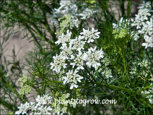 A close up of the floral umbel. The first set of 7 images where taken in the Heb Garden at Boerner Botanical Gardens.