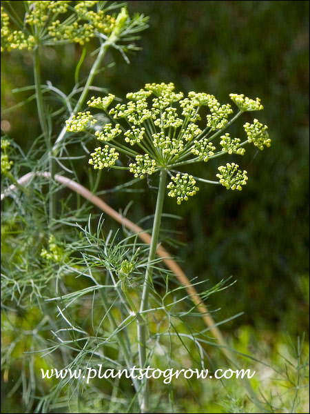 The flower is an inflorescence called an umbel.  The tiny yellow organs are the flowers (florets)