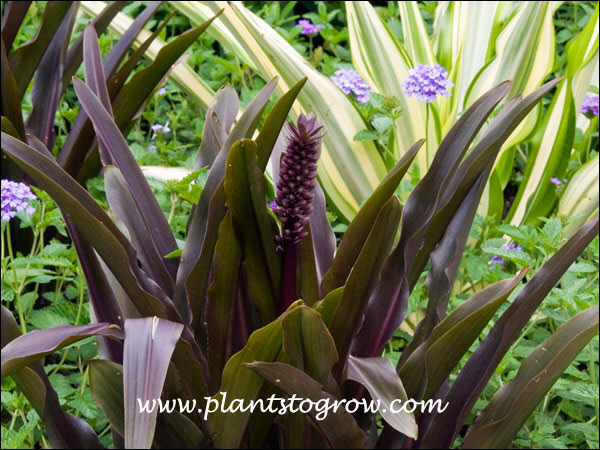 The purple flower looks like a small Pineapple before he florets start forming.