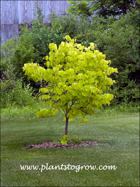 This is a three year old tree. It gets 1/2 day of full sun, 1/4 day filtered the rest shade.