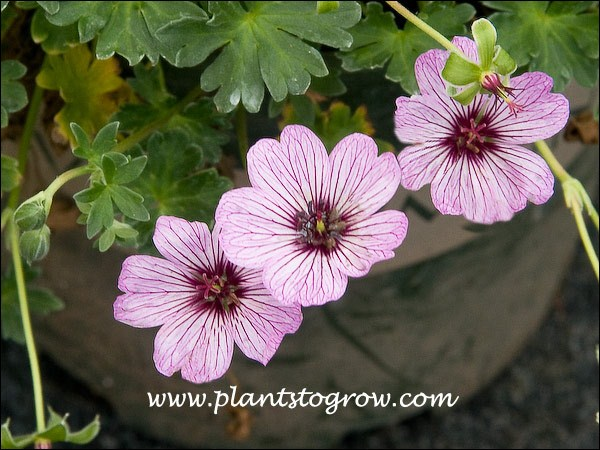 8cm rooted STRONG QUALITY 3 Plants Sent Geranium cinereum Ballerina x 3