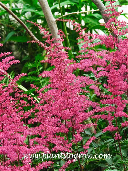Astilbe Red Light