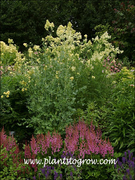 These plants were over 5 feet tall, dwarfing the red Astilbe and blue spikes of Salvia.