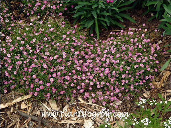 Gypsy Deep Pink forms nice compact mounds
