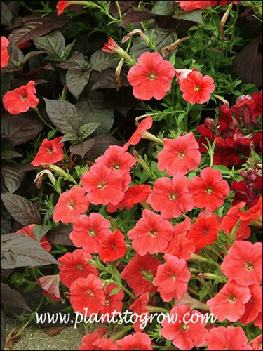 Petunia Avalanche Red