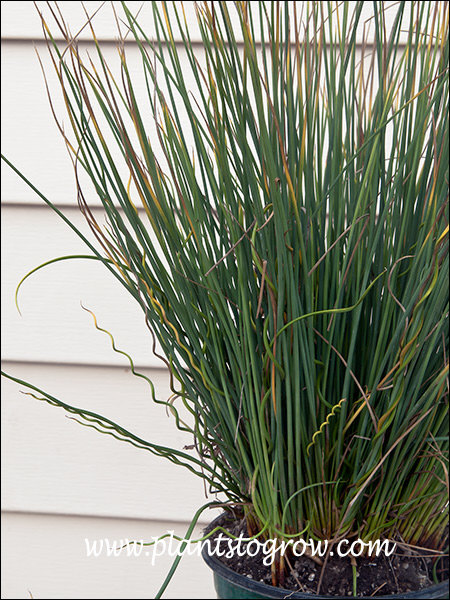 This plant is the result of the upright Blue Arrows growing with the twisted foliage of Spiral Rush