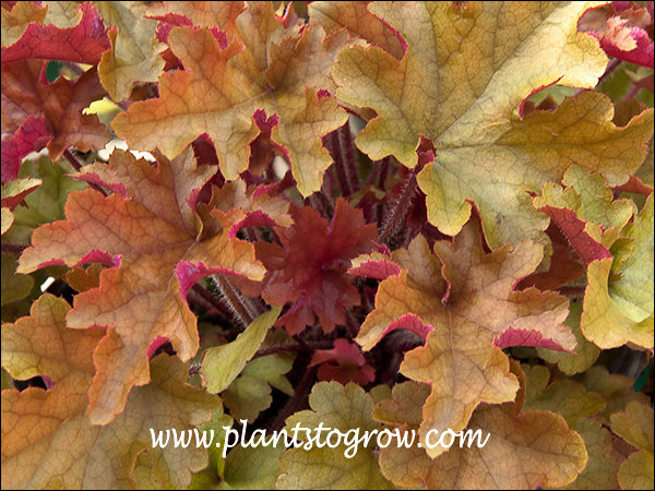 New leaves start as a with a reddish tint than change to amber.