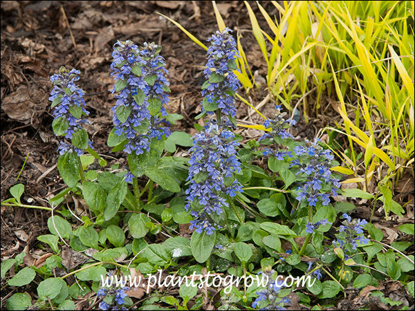 Ajuga genevensis has some of the bluish flowers of the Ajuga.
