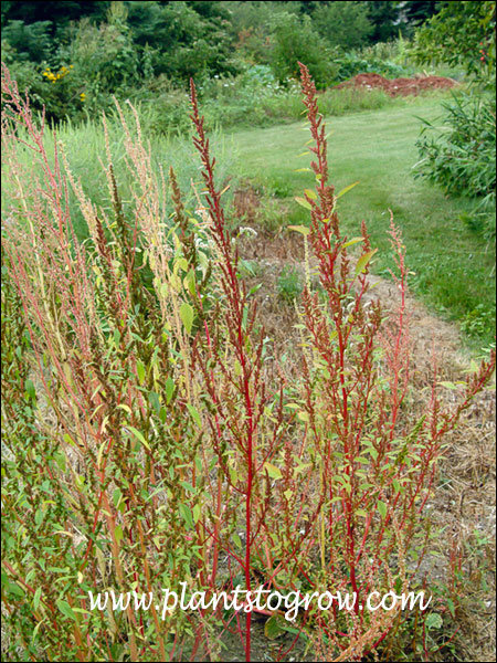 Red Sorrel (Rumex acetosella) the raceme