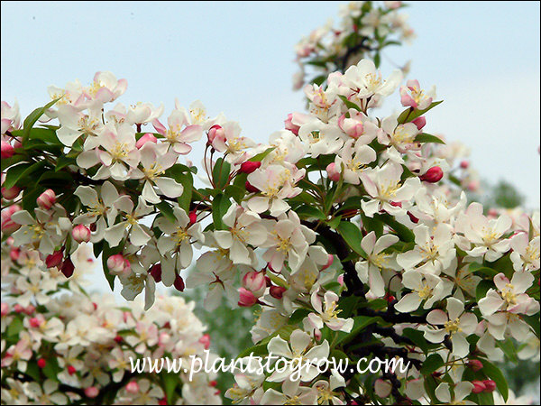 Autumn Glory Ornamental Crabapple (Malus) dark red buds with blushed flowers
