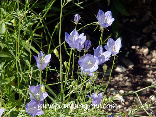 The blue up facing Campanula flowers.