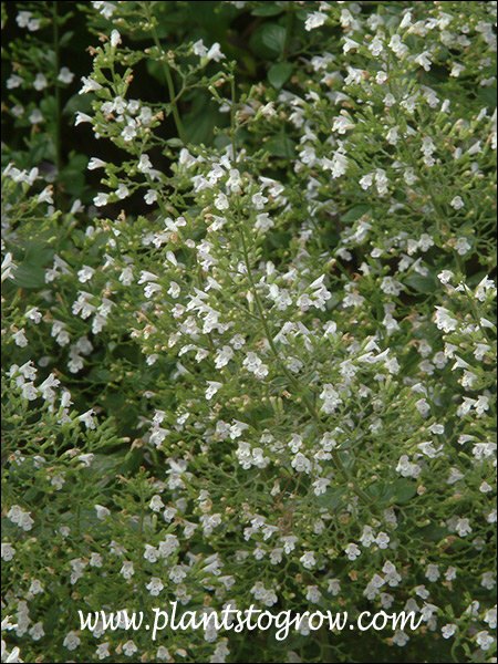 Monstrose White Calamint (Calamintha) Has larger flowers than other Calamintha.