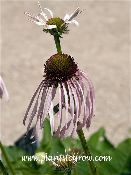The petals (ray flowers) of this Echinacea will droop.