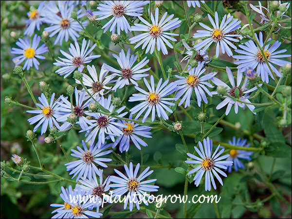 I have seen the species Aster macrophyllus many times in natural sites.  This is an outstanding improvement on that plant.