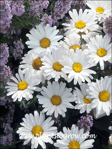 Shasta Daisy Daisy May
