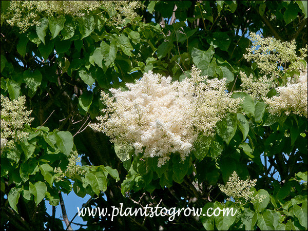 large panicles of white flower