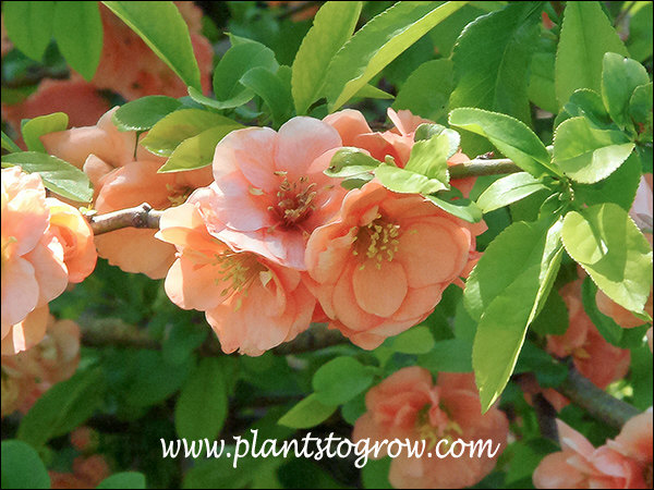 nice double, peach colored flower
