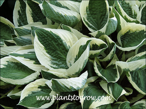 Hosta Admiral Halsey  This Hosta has been called a Hosta Patriot look alike.