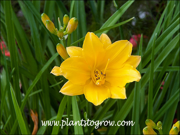 A heirloom Daylily has been around since 1948.