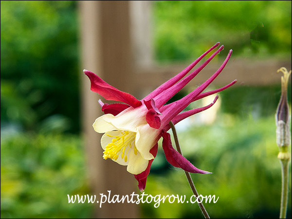Aquilegia McKanna Giant Red has large flowers with long spurs.