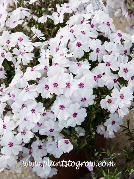 Nice white flowers with a tinge of pink along with the dark colored eye.