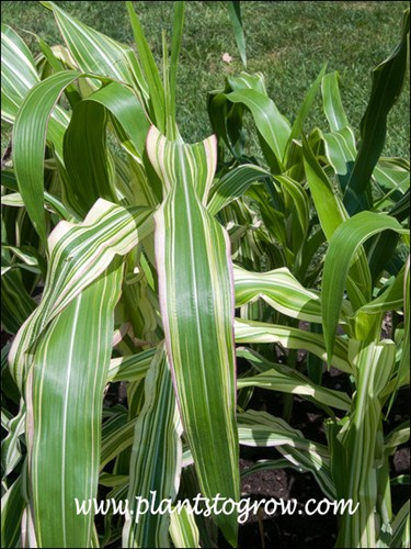 Tiger Club Corn Zea Mays Plants To Grow Plants Database By