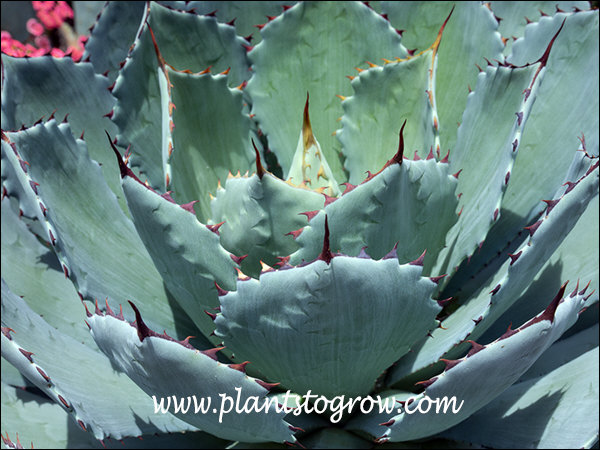 Artichoke Agave Dwarf Artichoke Agave Plants To Grow Plants
