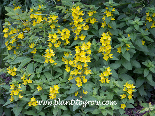 These were growing in a part sun site.  They are descendants of Lysimachia Alexander that reverted back.