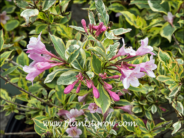 Rainbow Sensation has the typical Weigela flowers but has the added interest of the foliage variegation.