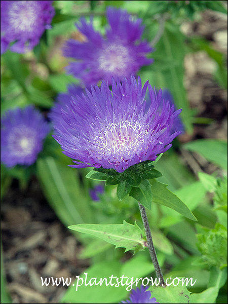 Honeysong Stokes Aster (Stokesia laevis)  I have seen flowers this darker purple color to a lighter purple.