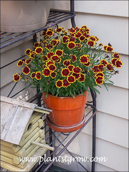 This plant was a prolific bloomer during the summer of 2014.