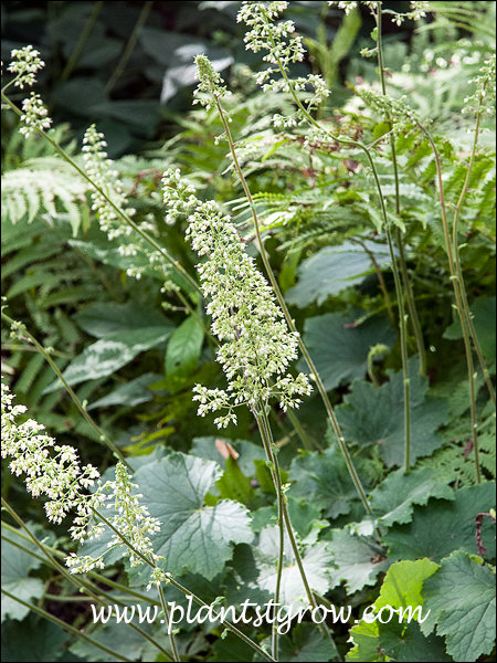 Autumn Bride has rather large airy panicles of whitish flowers.
