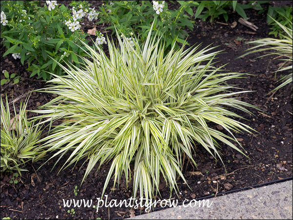 Striking bright foliage grass for the shaded area of a garden.