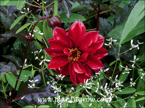 A nice combination of the white flowers of the annual Euphorbia Diamond Frost, dark foliage of the Dahlia and scarlet color of the flowers.